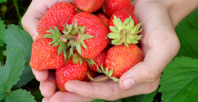 beneficios de comer fresas en el embarazo, beneficios de comer fresas para la piel, beneficios de comer fresas a diario,