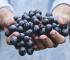 beneficios de comer uvas verdes, beneficios de comer uvas negras, beneficios de comer uvas rojas, beneficios de comer uvas sin semillas, beneficios de comer uvas diariamente
