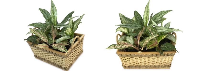 plantas de interior duraderas, plantas de interior resistentes