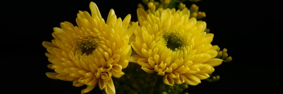 Los crisantemos, plantas de interior resistentes poca luz, plantas de interior bonitas y duraderas, flores duraderas interior