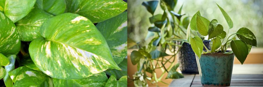 La planta del dinero, flores de interior, plantas para interiores