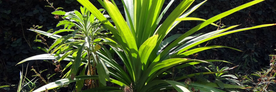 padanus tectorius, planta de interior, plantas colgantes interior, plantas interior poca luz